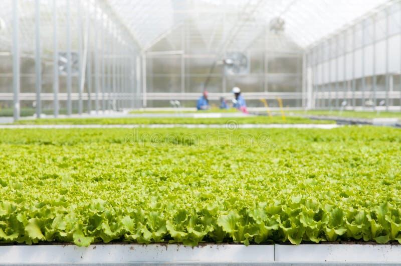 莴苣幼木自温室 库存照片