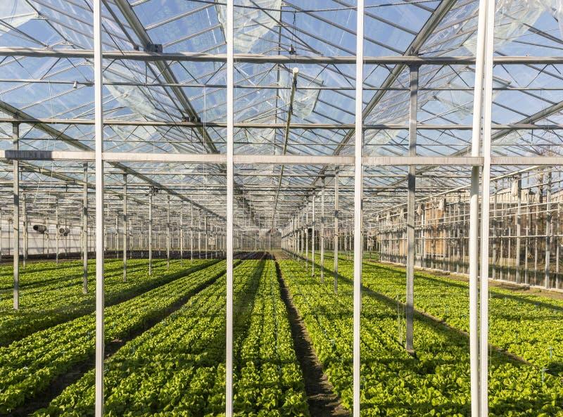 莴苣温室Maasdijk韦斯特兰 免版税库存图片