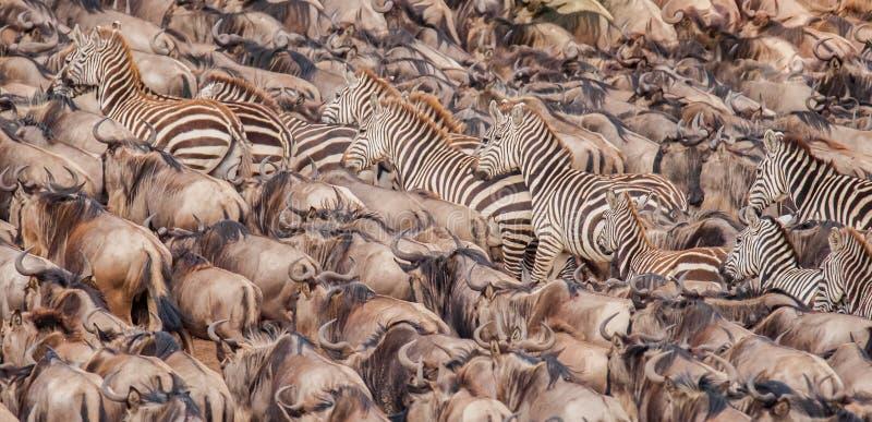 获取勇气的角马和斑马牧群横渡尼罗河 免版税库存图片