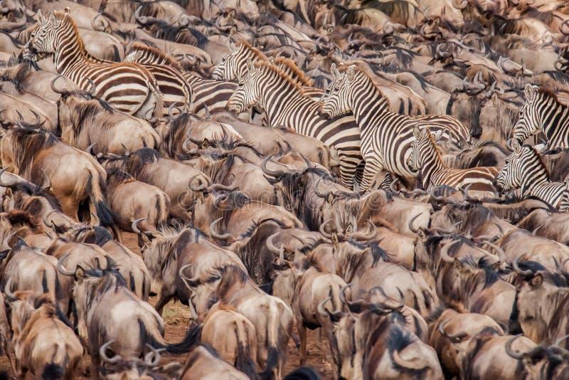 获取勇气的角马和斑马牧群横渡尼罗河 图库摄影