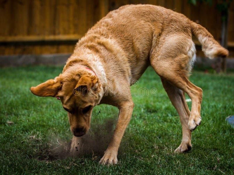 获得拉布拉多的小狗乐趣 库存照片