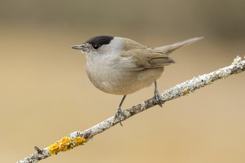 莺(西尔维亚海峡atricapilla) 免版税库存图片