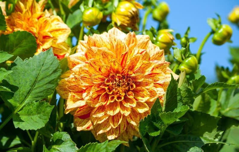 菊科大丽花cultorum等级伊莱贾泥工橙红一朵大花翠菊 库存照片