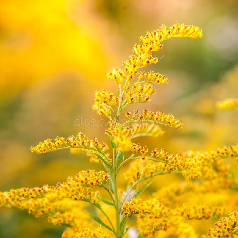菊科植物的一朵黄色领域花的开花 库存照片