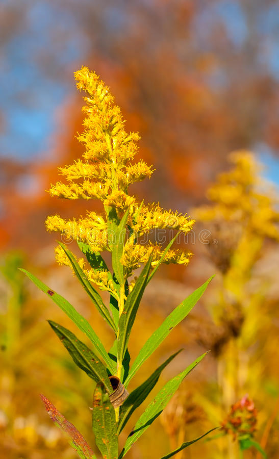 菊科植物 库存图片