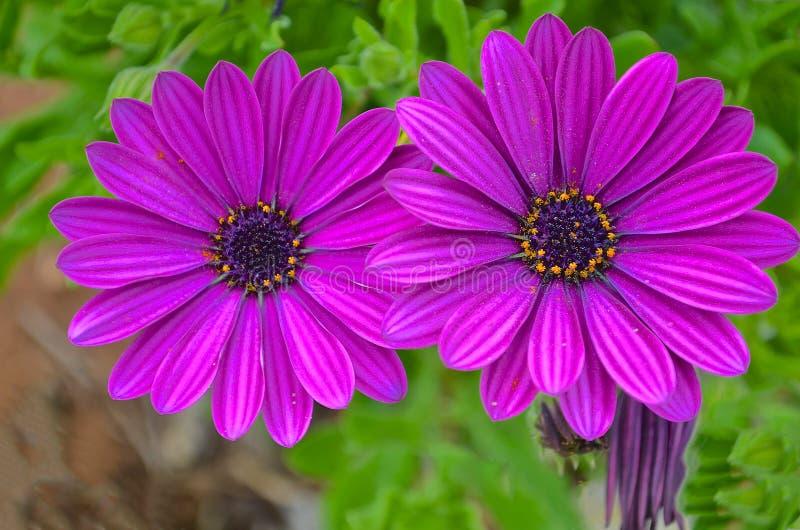 菊科, Osteospermum,紫色雏菊 免版税库存图片