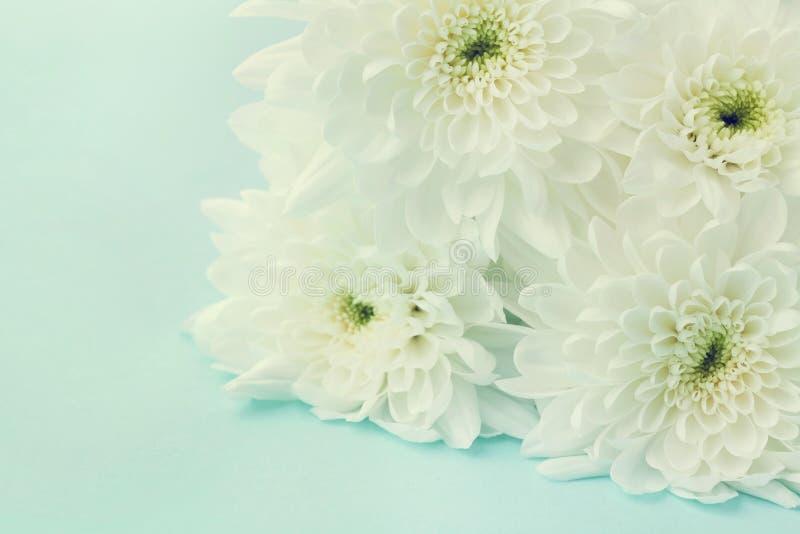 菊花为背景、美好的花卉纹理,减速火箭的定调子的,白色和蓝色颜色开花 免版税库存图片