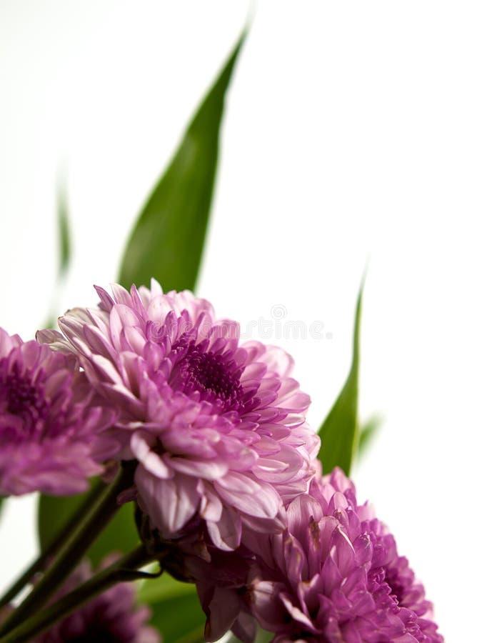 菊花五颜六色的花 免版税库存照片