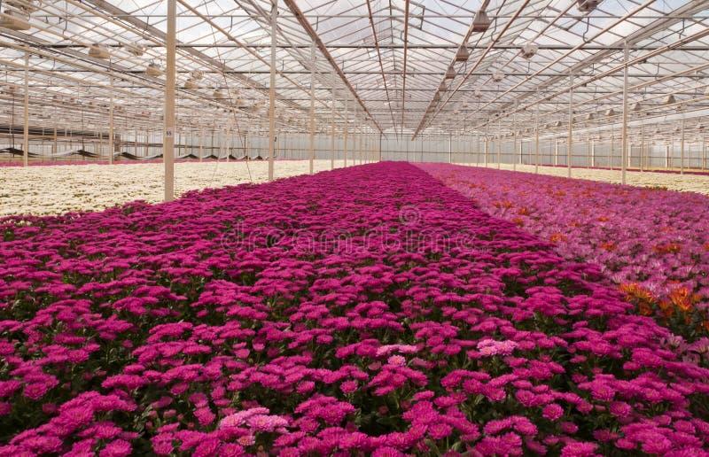 菊花五颜六色的荷兰语花苗圃 库存图片