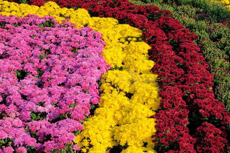 菊花分配为花坛的区域 库存照片