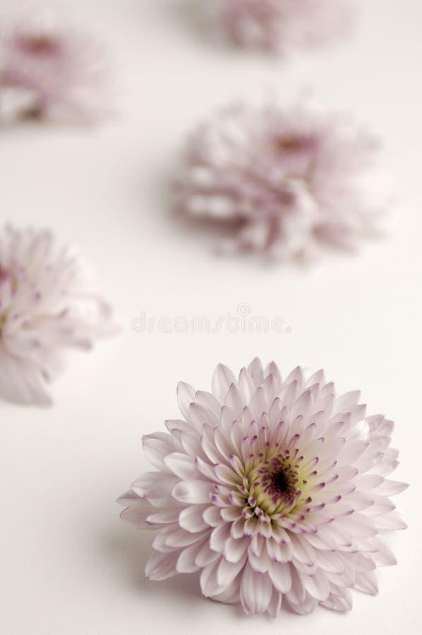 菊花变苍白紫色 免版税库存照片