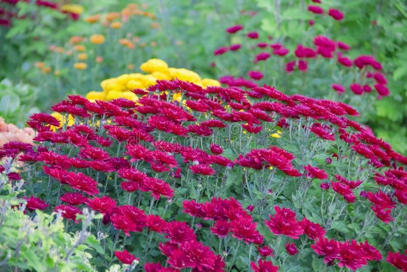 菊花在庭院里,室外季节性新鲜秋天紫色的分类,植物,假日11月 图库摄影