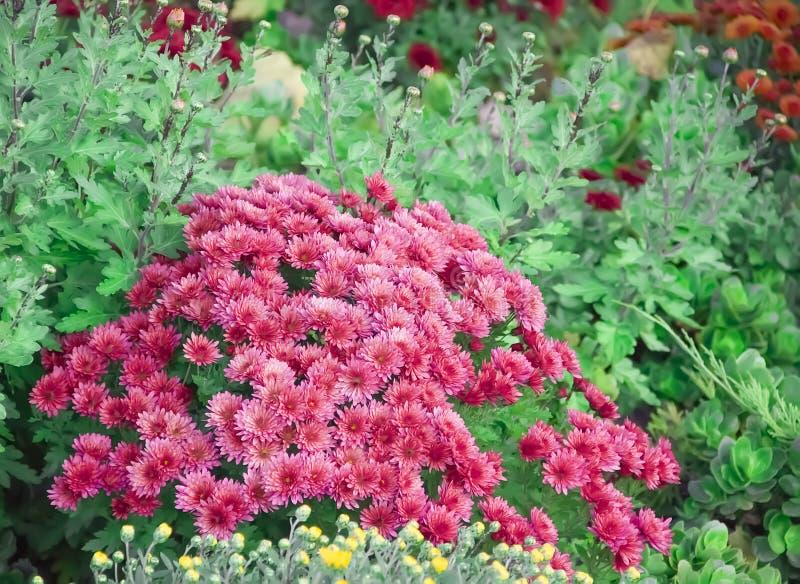 菊花在庭院里,室外新鲜秀丽季节性秋天紫色的分类,植物,假日11月 库存图片