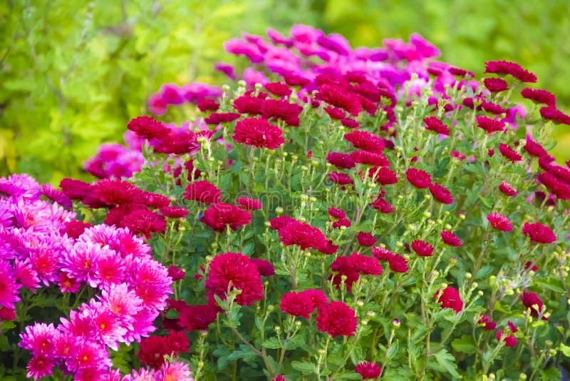 菊花在庭院里,室外新鲜秋天紫色的分类,植物,假日11月 免版税库存图片