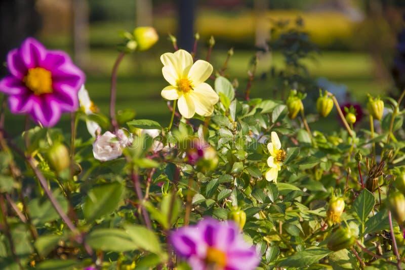 菊花在庭院里,新鲜的秋天,植物,假日11月 免版税库存照片