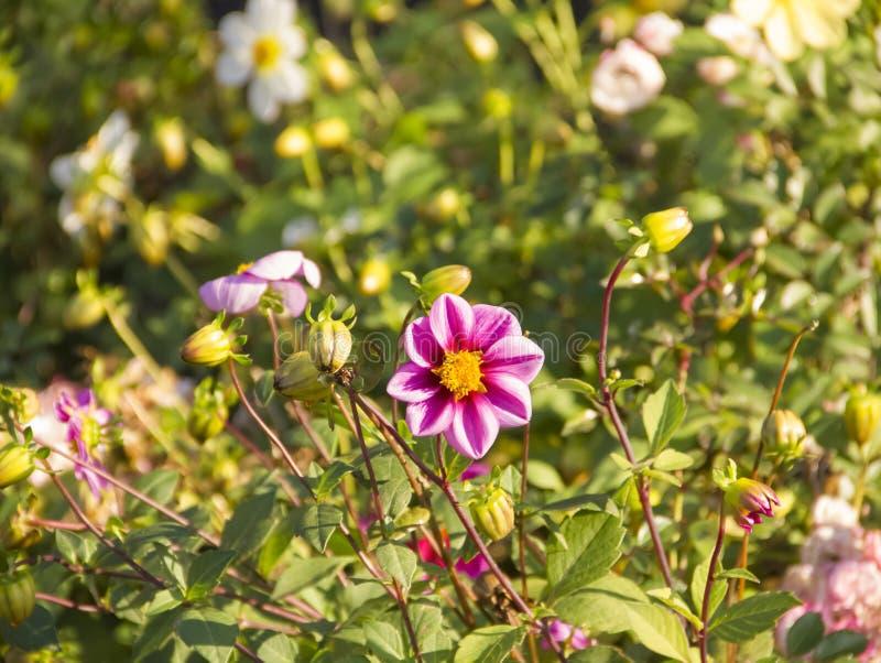 菊花在庭院里,新鲜的秋天, 11月 库存图片
