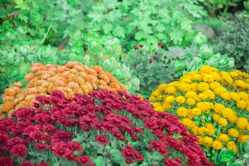 菊花在庭院里,新鲜秋天的分类,植物,假日11月 库存图片