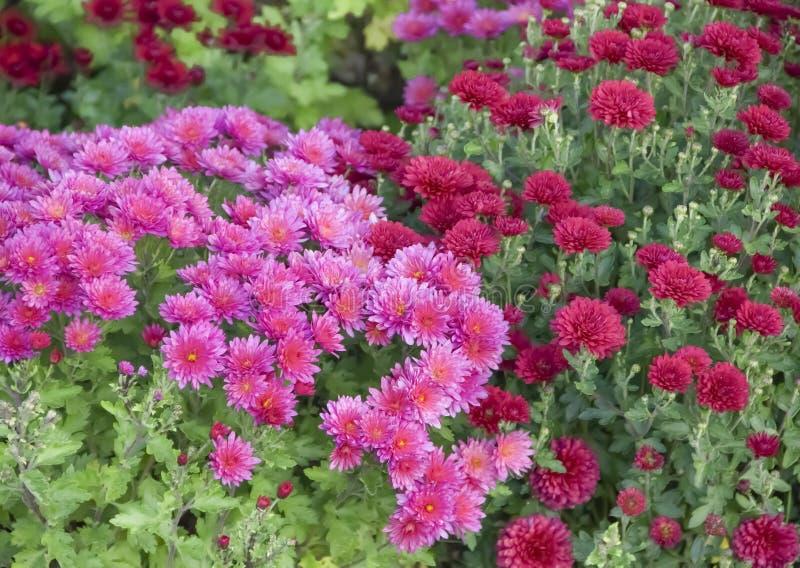 菊花在庭院里,新鲜秋天紫色的分类,植物,假日11月 免版税库存照片