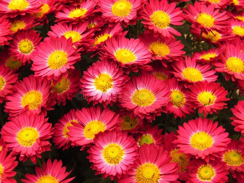菊花开花花束 美丽的小红色和黄色秋天庭院花 免版税库存图片