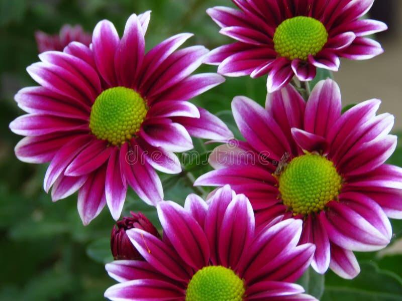 菊花开花花束 美丽红色白色和greeen秋天庭院花 被弄脏的背景 库存照片