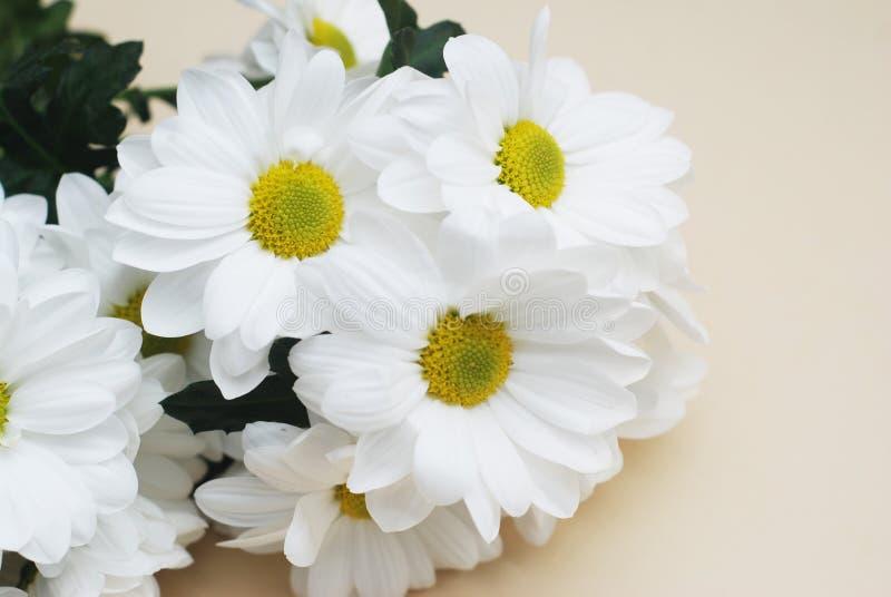 菊花春黄菊在中立米黄背景的白花花束与拷贝空间 图库摄影