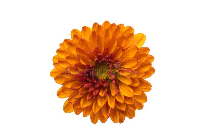 菊花橙黄色 库存照片