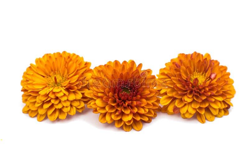 菊花橙黄色 图库摄影