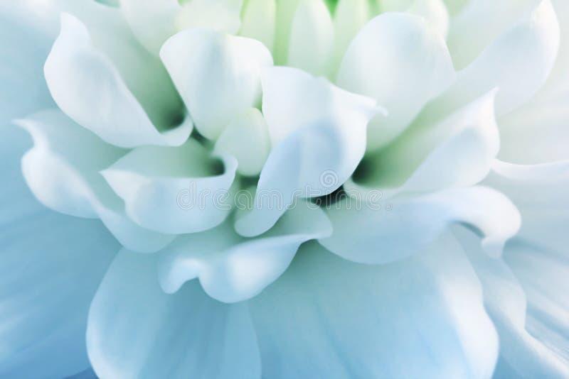 菊花特写镜头的Blured白色瓣 库存照片