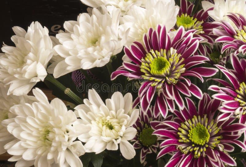 从菊花的花束颜色 库存照片