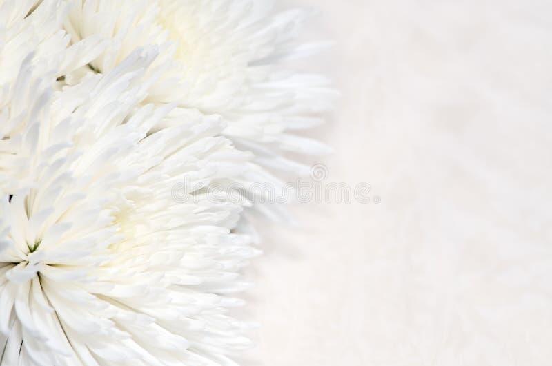 菊花背景 库存照片