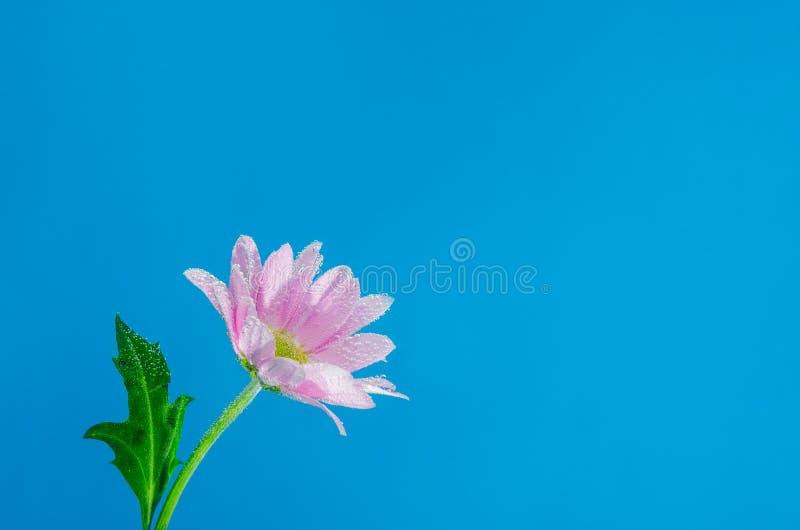 菊花花在与空气泡影的水中在蓝色背景的 库存图片