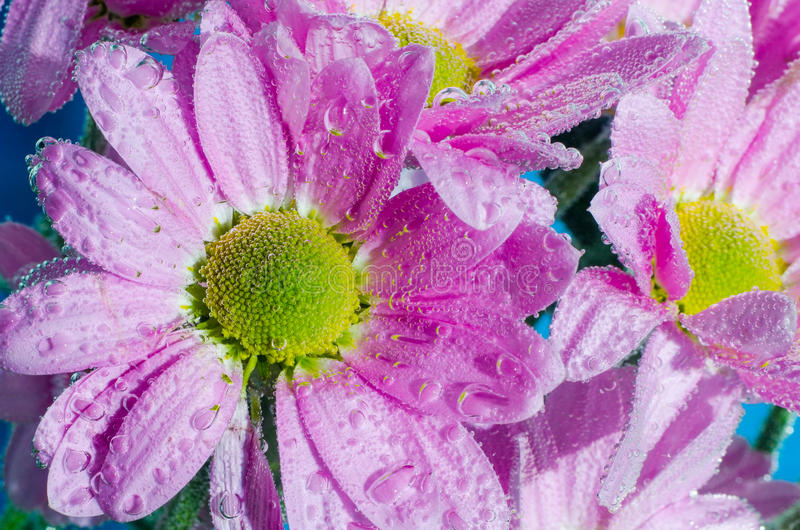 菊花花在与空气,特写镜头泡影的水中  免版税图库摄影