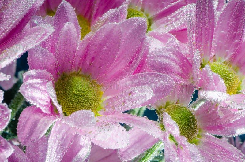 菊花花在与空气,特写镜头泡影的水中  免版税库存图片