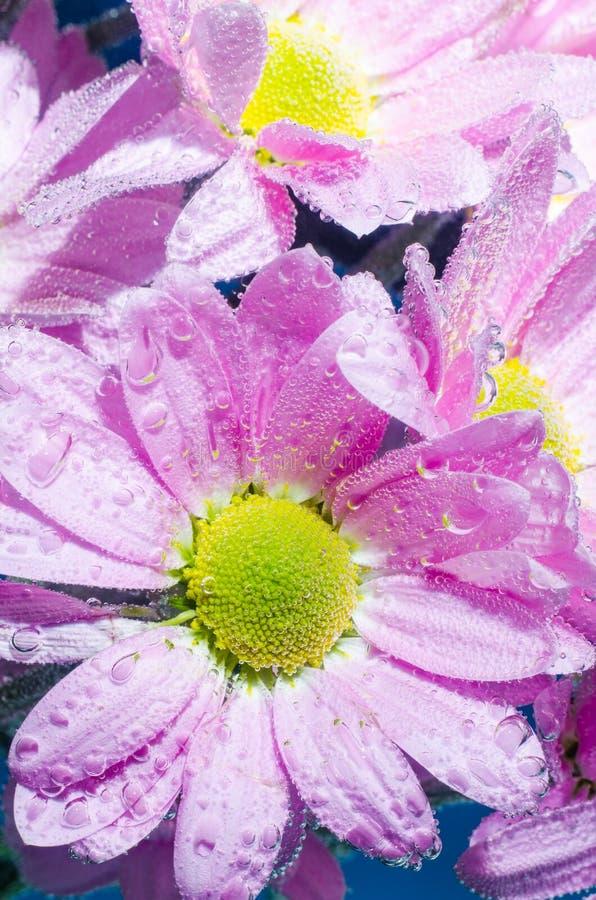 菊花花在与空气,特写镜头泡影的水中  库存照片
