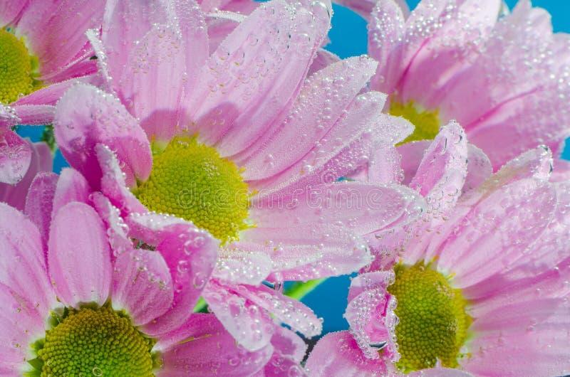 菊花花在与空气,特写镜头泡影的水中  免版税库存照片
