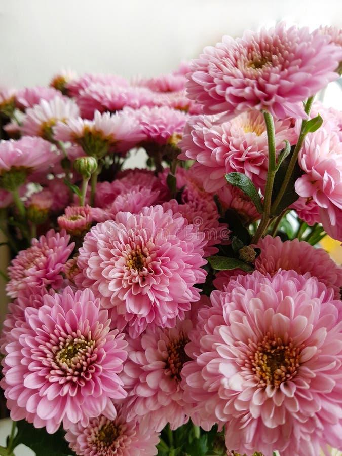 菊花花束 秋天花 特写镜头 开花的菊花粉红色 背景白色 库存照片