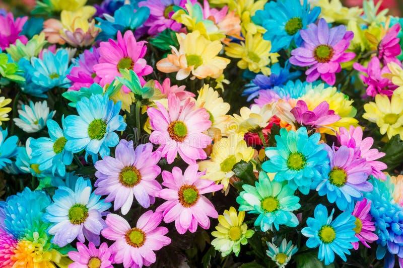菊花花的彩虹颜色 免版税库存照片