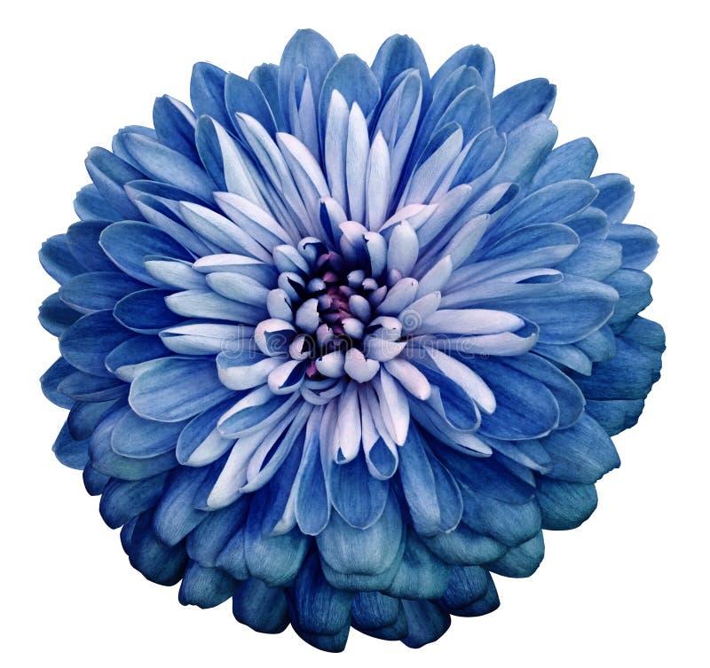 菊花蓝色花 在白色与裁减路线的被隔绝的背景 特写镜头没有阴影 庭院花 库存照片