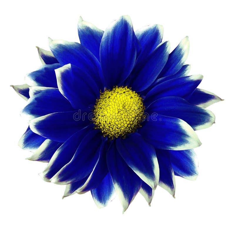 菊花蓝色 开花在与裁减路线的被隔绝的白色背景,不用阴影 特写镜头 对设计 库存图片
