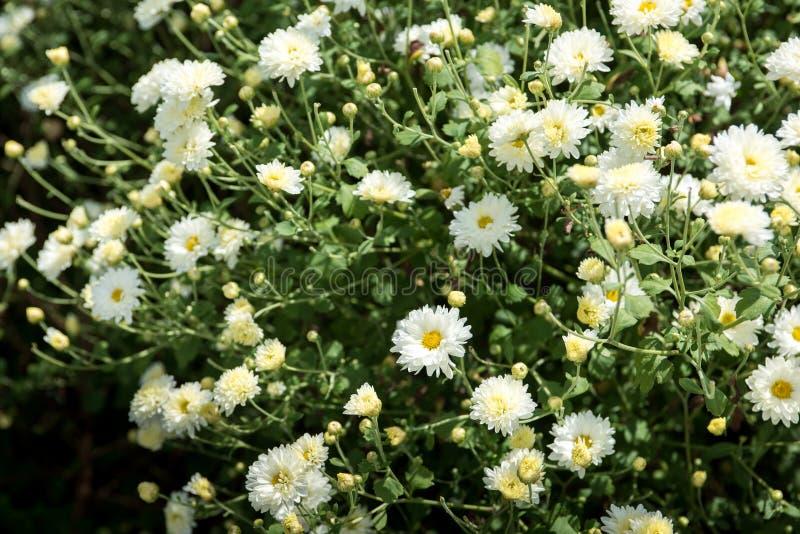 菊花领域:在种植园领域的白色菊花花 对做中国草药 库存图片