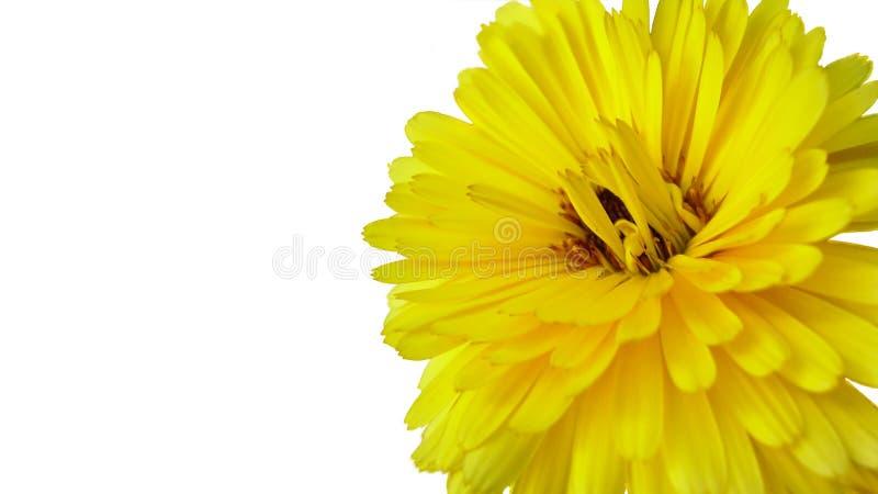 菊花-在白色背景隔绝的一朵黄色花 库存照片