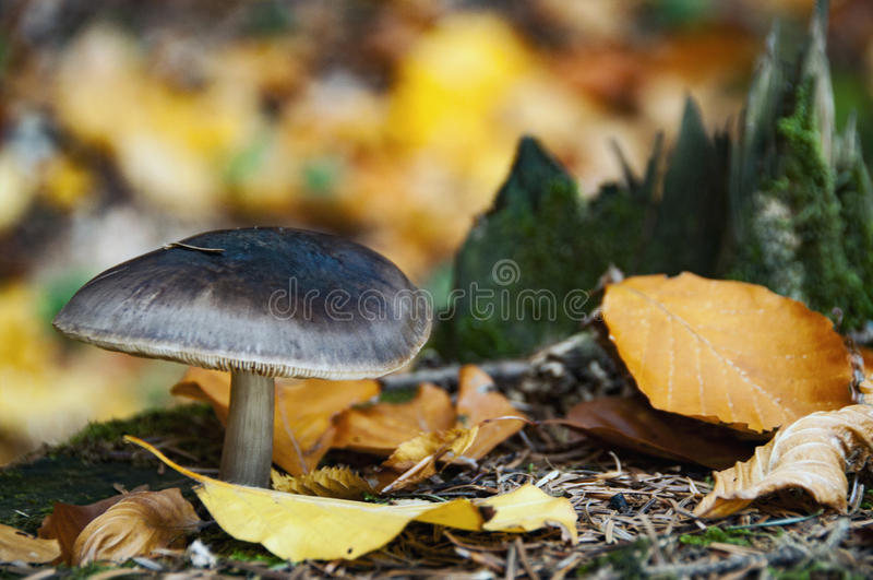 死菌盖蘑菇& x28; 伞形毒蕈phalloides& x29; 免版税库存图片
