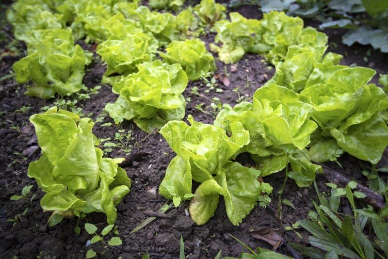 菜园在夏天 花、草本和菜在后院规则式园林里 Eco友好从事园艺 图库摄影