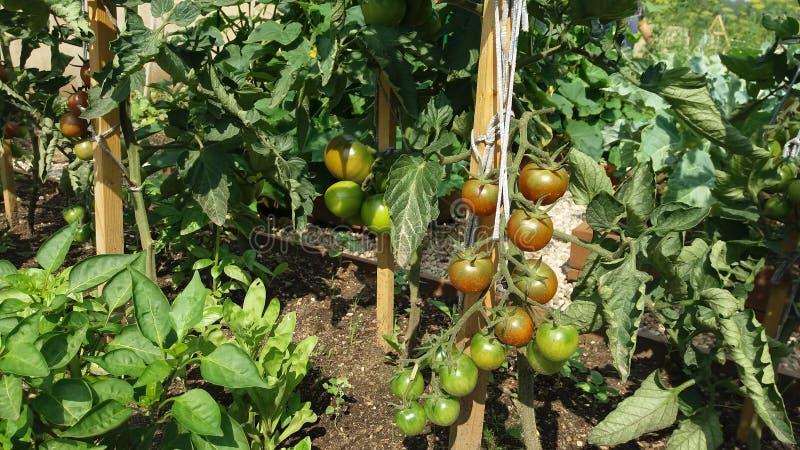 菜床用蕃茄在根据有机耕田的原则被装备的一个菜园里 免版税库存照片