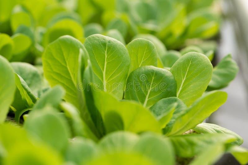 菜用结页草,绿色莴苣离开背景 库存图片