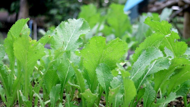 菜绿色庭院新鲜的莴苣 免版税库存照片