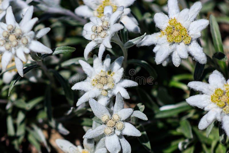 菟葵属hyemalis或菟葵,有白色蓬松花的异常的普通的冬天雪杯 库存照片