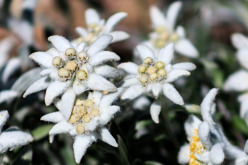 菟葵属hyemalis或菟葵,有白色蓬松花的异常的普通的冬天雪杯 免版税库存图片