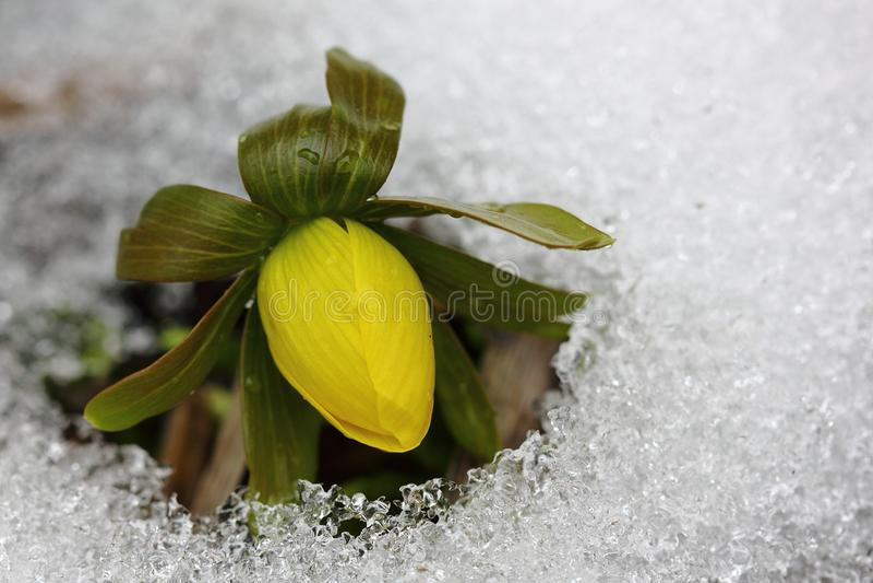 菟葵属hyemalis 图库摄影