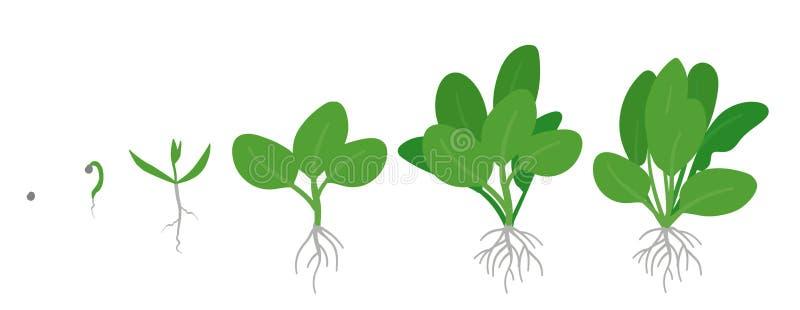 菠菜庄稼阶段  增长的菠菜植物 绿叶蔬菜成长 ??oleracea o 皇族释放例证